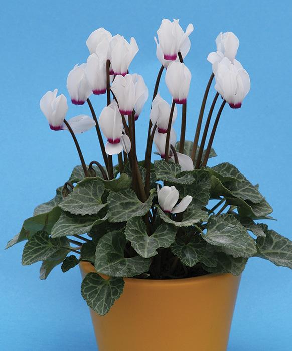 Купить цветы петуния посадка и уход