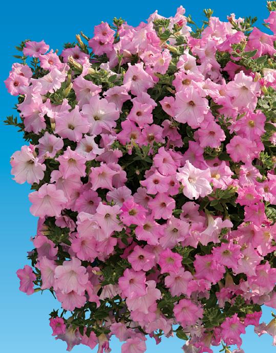 http://www.cernyseed.cz/products/petunia-hybrida/petunia-new4.jpg