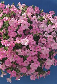http://www.cernyseed.cz/products/petunia-hybrida/petunia.jpg